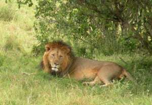 Mobile technology keeps lions and intruders off African farms