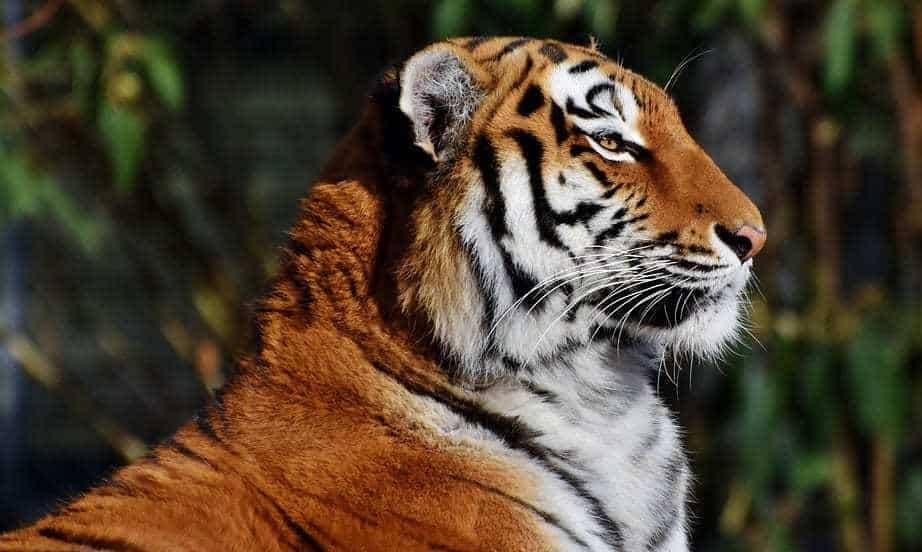 Tadoba QR Code System - Tiger