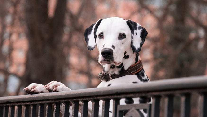 QR code pet license - Dalmatian dog
